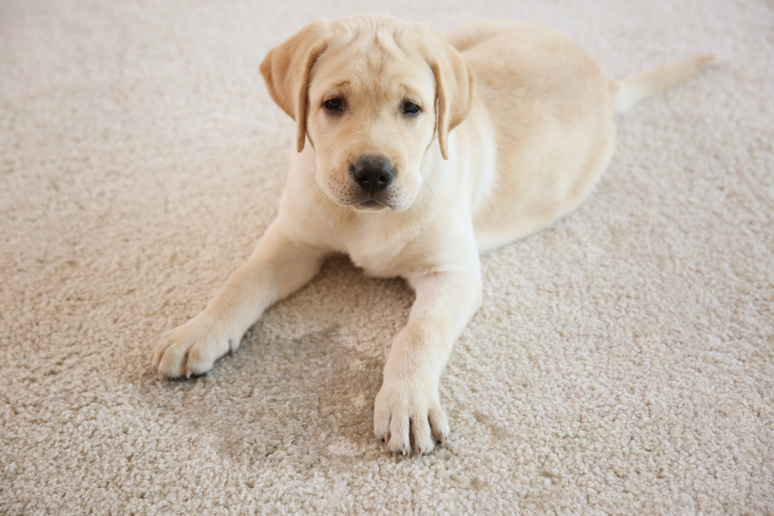 Try Our Pet Stain and Odor Removal Treatment to keep your carpet and home clean for those you love